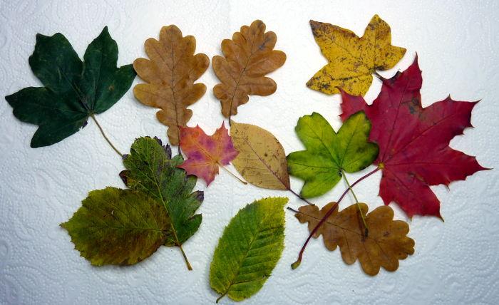 Herbstblätter liegen zum Trocknen liegend auf Küchenpapier