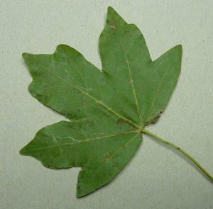 Herbstblatt liegend auf Karton